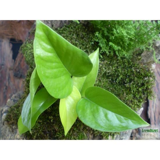 Szobai futóka citrom - Scindapsus aureum Lemon