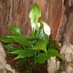 Vitorlavirág - Spathiphyllum wallisii Hobbit