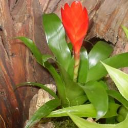 Pikkelyvirág, vrízea - Vriesea christiane