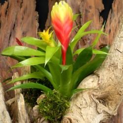 Pikkelyvirág, vrízea - Vriesea Dorado