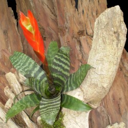 Pikkelyvirág, vrízea - Vriesea splendens